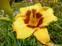 Denivka 'Blackberry Bandito' (Hemerocallis hybrida)