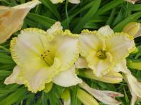 Hemerocallis   'Something Wonderful'  Daylily flowers