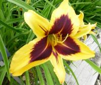 Denivka 'Bold One' (Hemerocallis hybrida)