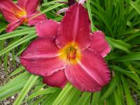Daylily Hemerocallis  'Charles Johnston'
