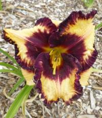 Denivka 'Ageless Beauty' (Hemerocallis hybrida)