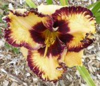(Hemerocallis hybrida) Denivka 'Ageless Beauty'