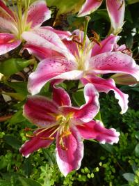 Lilium x hybridum  'After Eight'  Lily plant