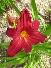 (Hemerocallis hybrida) Denivka 'Scotland'