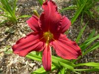 Hemerocallis       'Scotland'  Daylily flowers