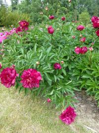 Paeonia lactiflora  'Adolphe Rousseau' - Chinese Peony