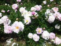 Paeonia lactiflora  'Agnes Mary Kelway' - Chinese Peony