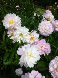 Paeonia lactiflora  'Agnes Mary Kelway'  Chinese Peony plant