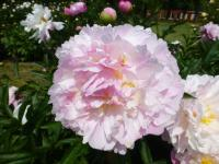 Paeonia lactiflora    'Agnes Mary Kelway'  Chinese Peony flowers
