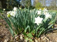 Narcissus  'White Medal'  Daffodil plant