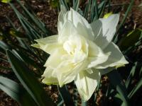 Narcissus    'White Medal'  Daffodil flowers