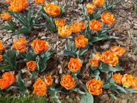 Tulipa 'Orange Princess'  Tulip plant