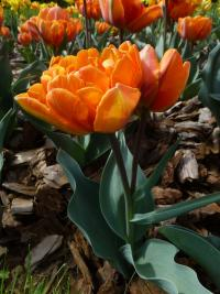 Tulipa    'Orange Princess'  Tulip flowers