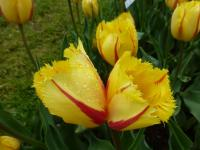 Tulipa   'Flamenco'  Tulip flowers
