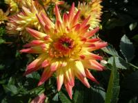 Dahlia Dahlia  'Bridge View Aloha'