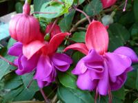 Fuchsie 'Dark Eyes' (Fuchsia)