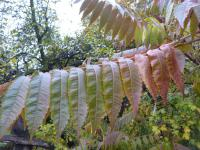 Rhus typhina   staghorn sumac leaves