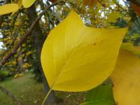 Liriodendron tulipifera   tulip tree leaves