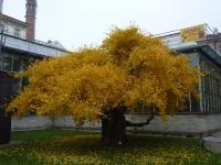 Ginkgo biloba   maidenhair tree plant