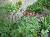 Lamprocapnos spectabilis   Asian Bleeding-heart plant