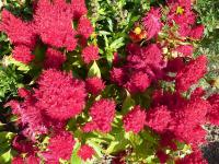 Celosia argentea  'Look Red'  Cockscomb flowers