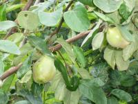 Cydonia oblonga   Quince twings