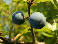 Prunus spinosa - fruits