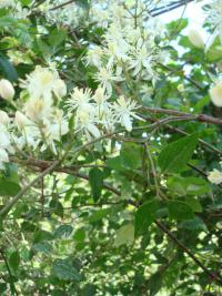 Clematis vitalba   Traveller's-joy twings