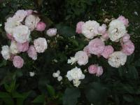 Rosa   'Andikó'  Rose flowers