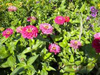 Zinnia elegans   Youth-and-age plant