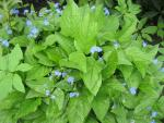 Omphalodes verna   creeping navelwort leaves