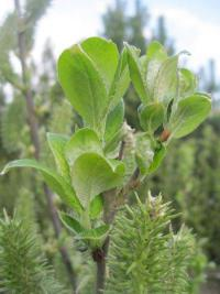 Salix caprea   Goat Willow leaves