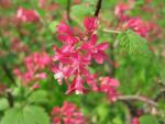 Ribes sanguineum   redflower currant flowers