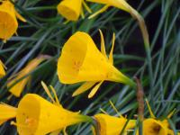 Narcis Golden Bells (Narcissus x hybridus)