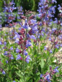 Salvia officinalis   Garden Sage flowers