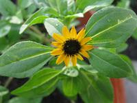 Sanvitalia procumbens   Mexican Creeping Zinnia leaves