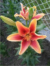 Lilium x hybridum       'First Crown'  Lily flowers