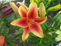 Lilium x hybridum   'First Crown'  Lily plant