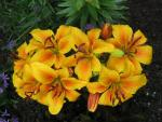 Lilium x hybridum 'Golden Joy'  Lily flowers