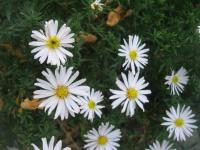 Aster dumosus      'Silberball'  Rice Button Aster plant