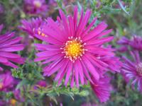 Symphyotrichum novi-belgii 'Crimsion Brocade'  Confused Michaelmas-daisy flowers