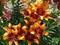 Lilium x hybridum    'Orange Art'  Lily plant