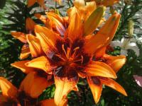 Lilium x hybridum          'Orange Art'  Lily flowers