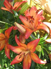 Lilium x hybridum 'Royal Sunset'  Lily plant