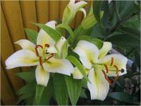 Lilium x hybridum 'Time Out'  Lily flowers