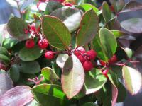 Gaultheria procumbens   - Checkerberry
