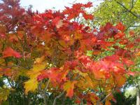Acer japonicum   - Downy Japanese-maple