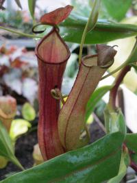 Láčkovka (Nepenthes)