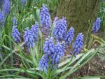 Muscari botryoides   Compact Grape-hyacinth plant