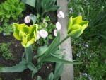 Tulipa  'Green Eyes'  Tulip flowers